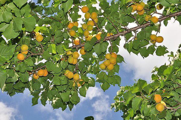 урожай абрикос в средней полосе России