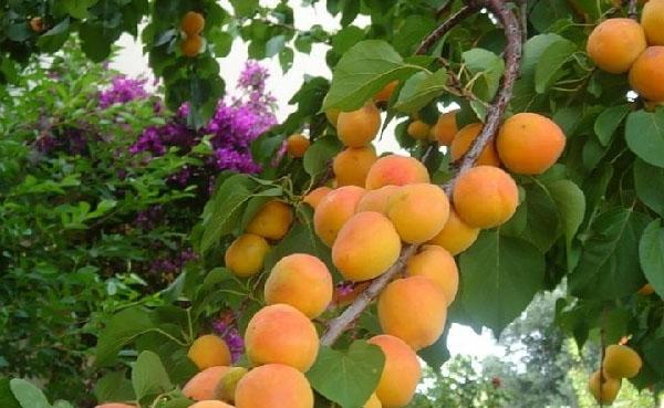 урожай абрикоса Кичигинский
