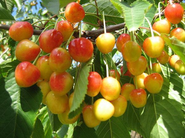 урожай черешни в Подмосковье