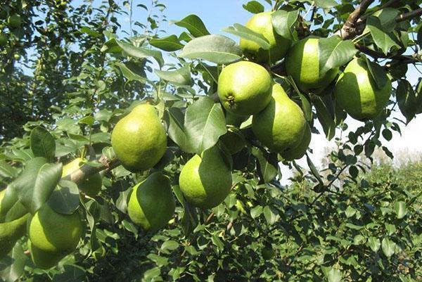 урожай груши сорта Москвичка