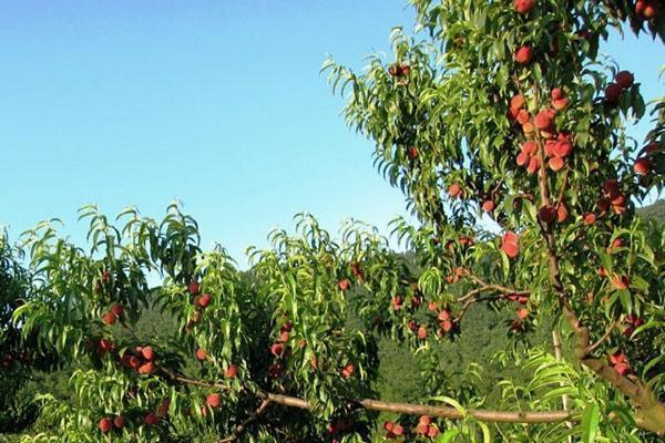 хороший урожай персиков
