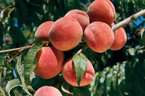 Причины гниения персиков на дереве