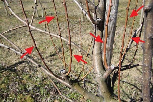 как обрезать яблони и груши осенью