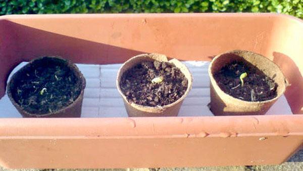 выращивание груши из семян