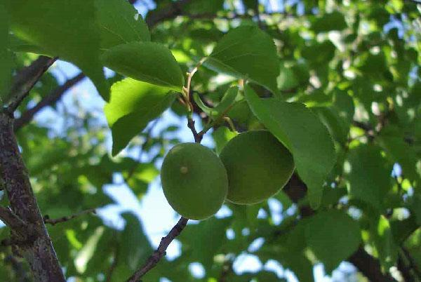зеленые плоды абрикоса Кичигинский
