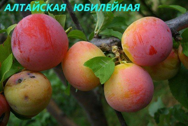 сорт Алтайская Юбилейная