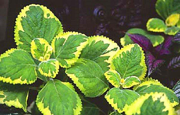 Plectranthus «Green on Green»