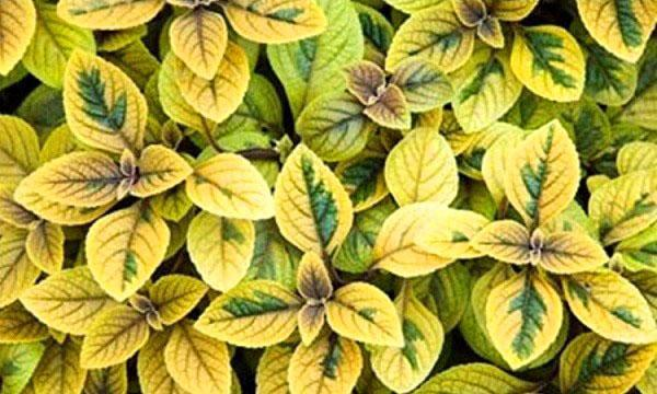 Plectranthus coleoides «Easy Gold»