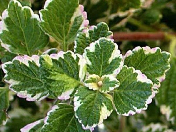 Plectranthus coleoides «Marginatus»
