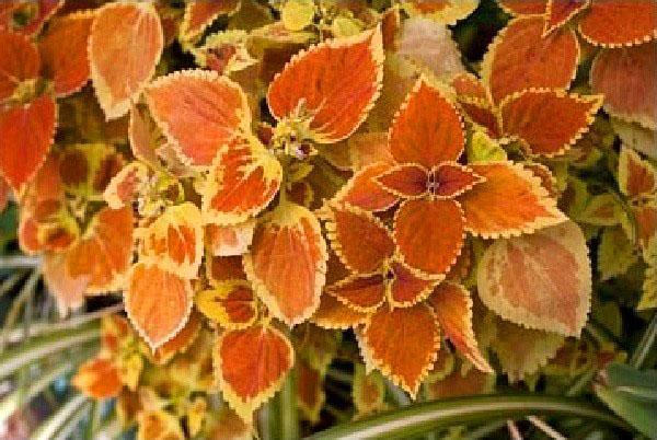 Plectranthus coleoides «Otto Mann»