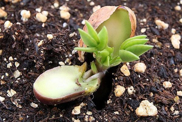 арахис дал росток