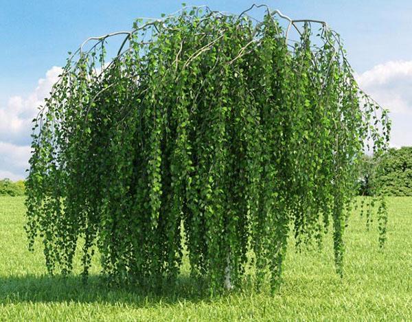 большое плакучее дерево