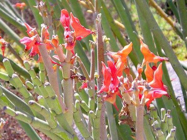 цветение педилантуса Крупноплодного