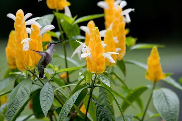 цветение пахистахиса после обрезки