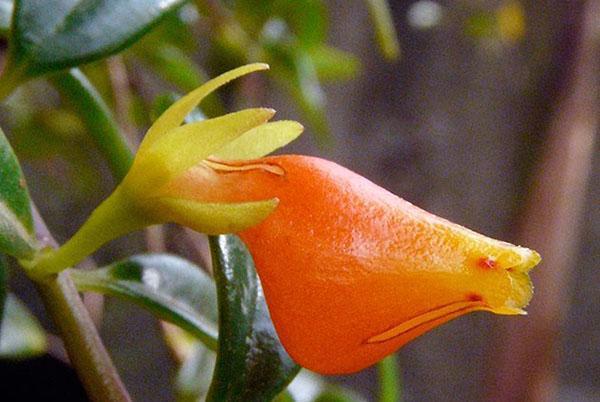 цветет нематантус