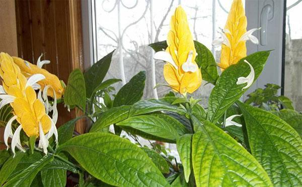 цветет пахистахис дома