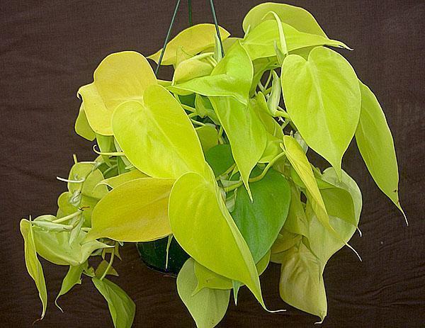 Филодендрон блестящий сорта Lemon Lime