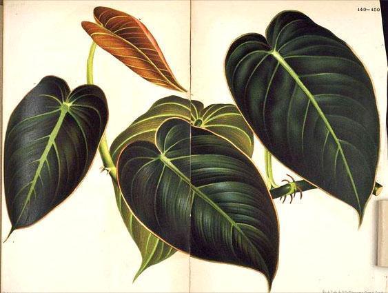 Филодендрон черно-золотистый Black Gold