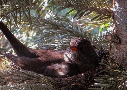 гнездо в хвойнике