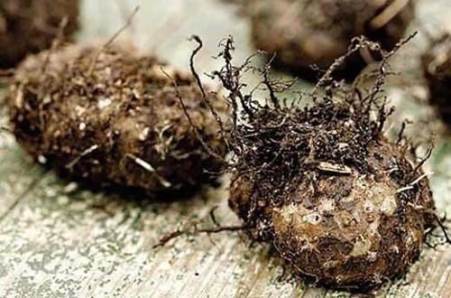Как выкопать клубни бегоний на зиму и сохранить их до весны