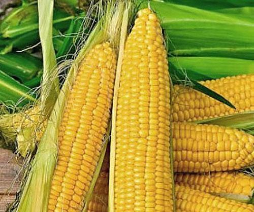 кукуруза сорта ранняя золотая