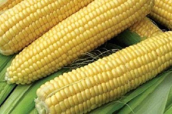 кукуруза сорта ледяной нектар