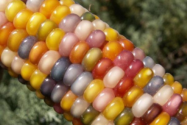 кукуруза сорта стеклянная гамма
