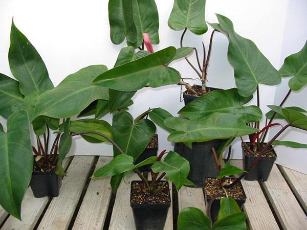 молодые растения филодендрона