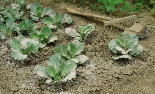 опудривание капусты пеплом