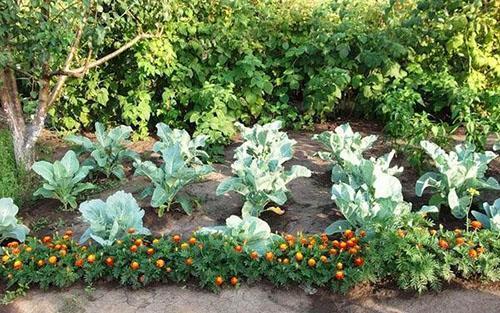 овощи и цветы на одной грядке
