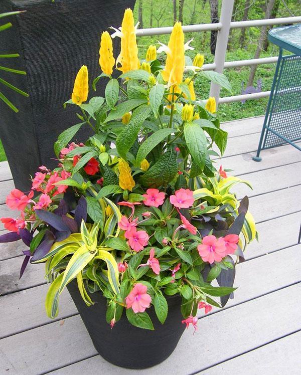пахистахис в одном горшке с другими растениями
