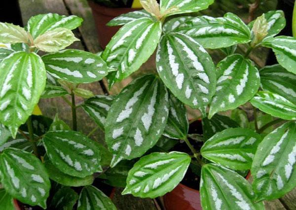 пеперомия с пестрой листвой