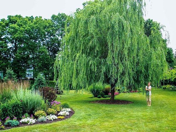 Оригинальный ландшафтный дизайн участка с использованием плакучих деревьев