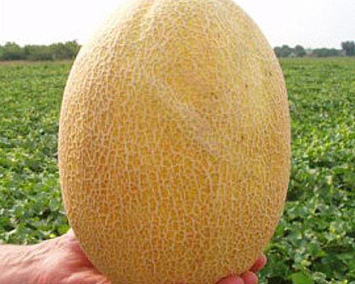 плод дыни Дакаро