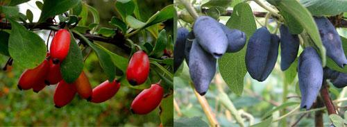 плодовые и декоративные кустарники