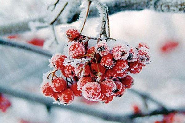 ягоды рябины зимой