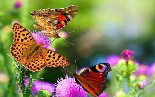привлекаем бабочек в сад