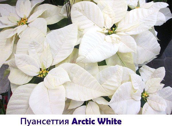Пуансеттия Arctic White