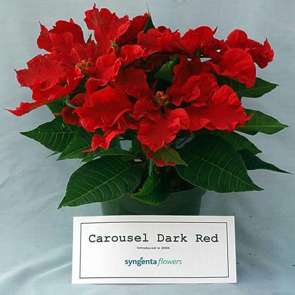 Пуансеттия Carousel Dark Red
