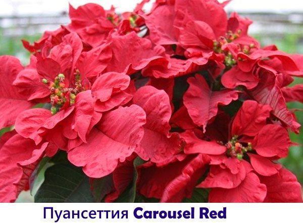 Пуансеттия Carousel Red