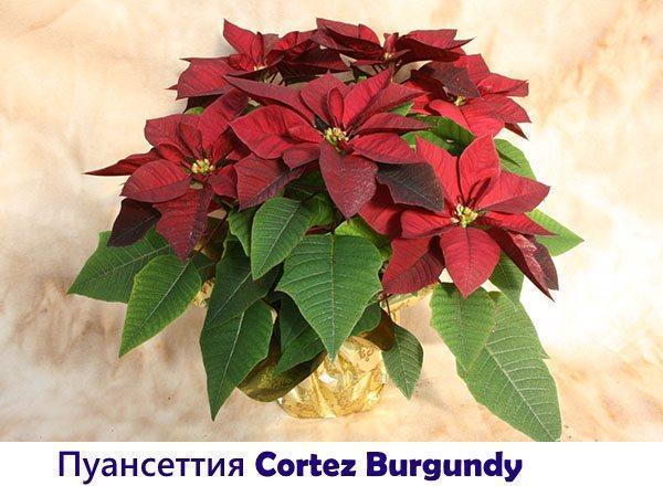 Пуансеттия Cortez Burgundy