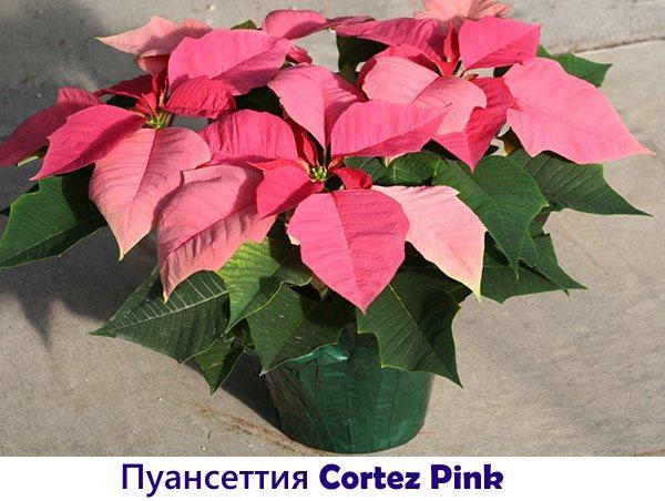 Пуансеттия Cortez Pink