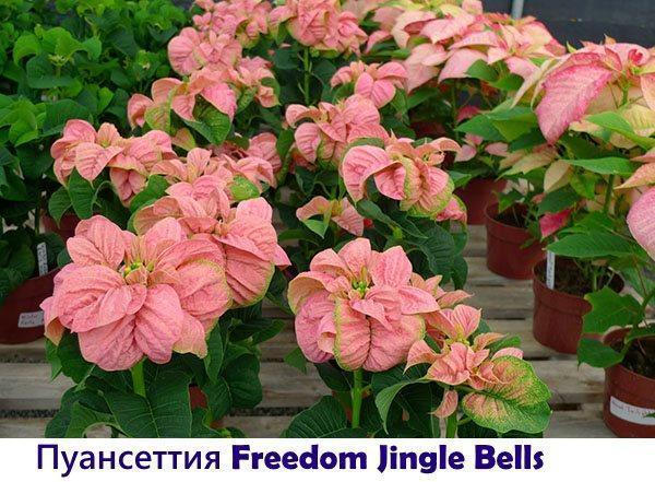Пуансеттия Freedom Jingle Bells
