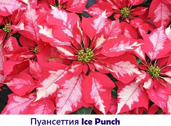 Пуансеттия Ice Punch