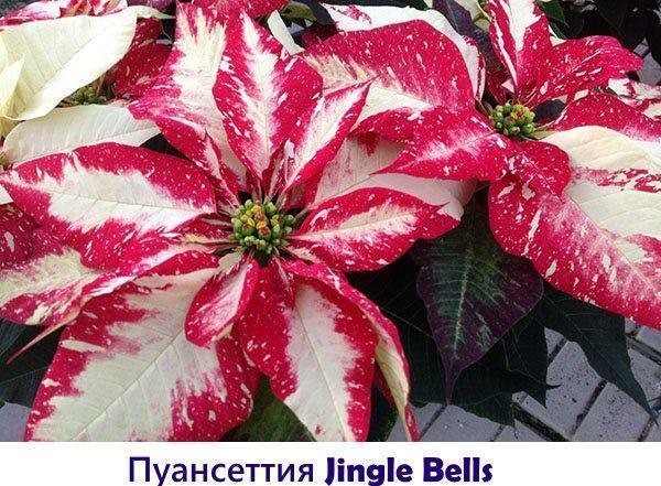 Пуансеттия Jingle Bells