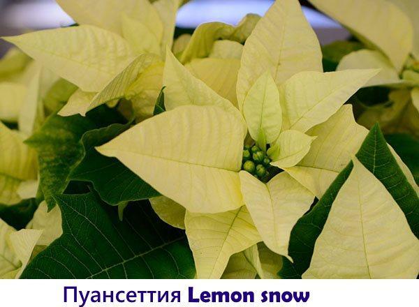 Пуансеттия Lemon snow