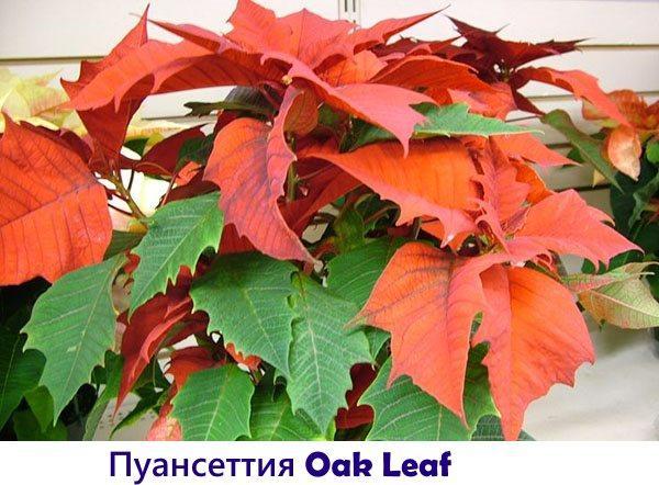 Пуансеттия Oak Leaf