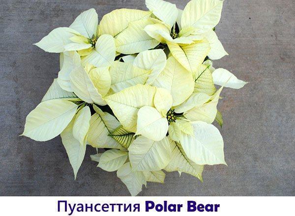 Пуансеттия Polar Bear