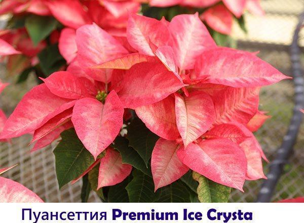 Пуансеттия Premium Ice Crysta