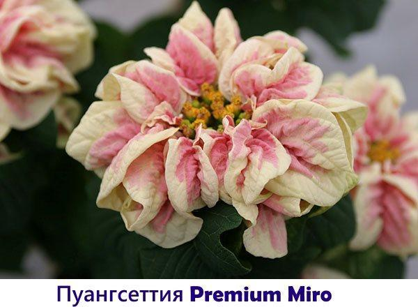 Пуансеттия Premium Miro